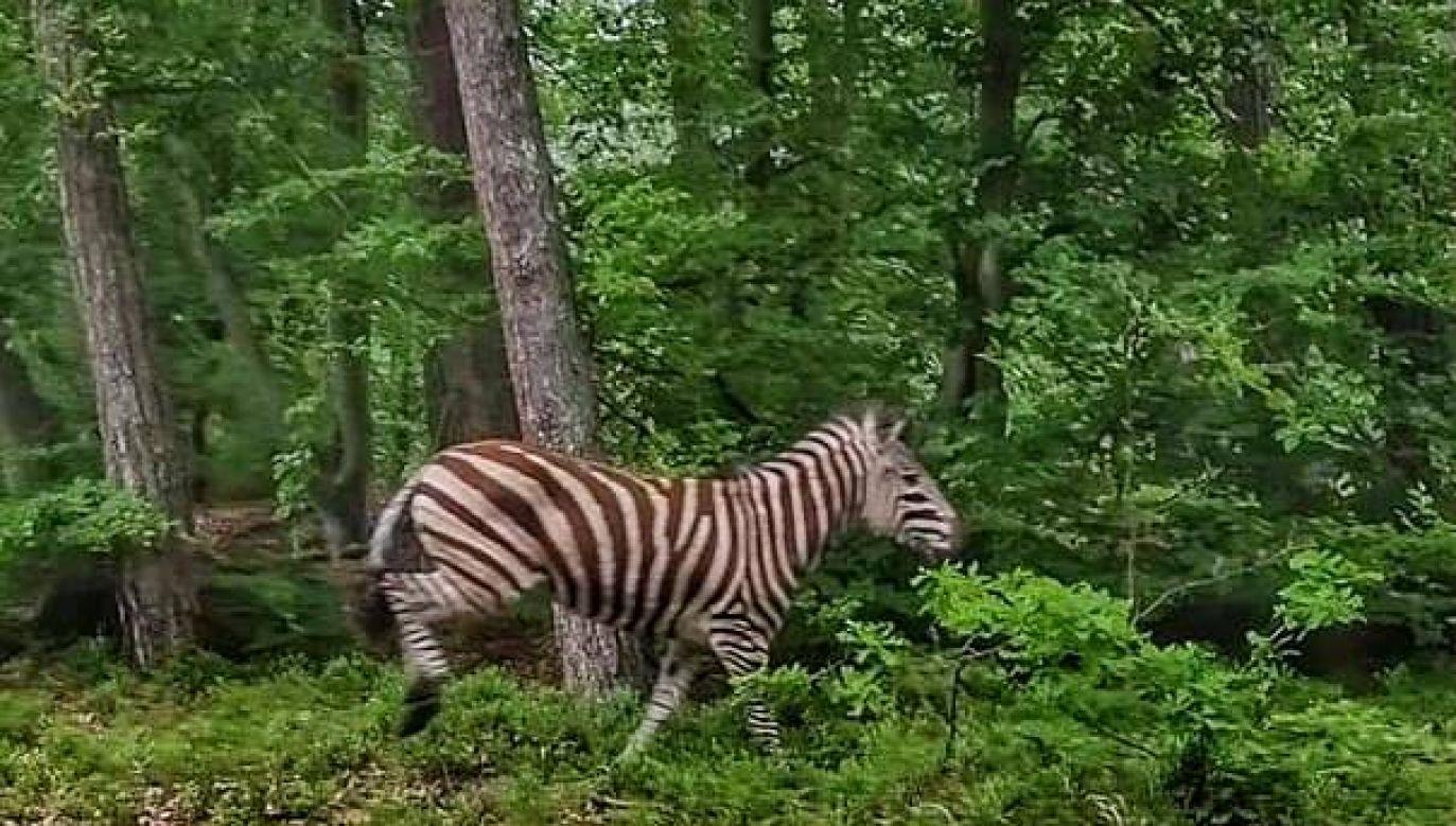 Zapach borówek zachęcił ją do dłuższego spacerowania po terenie (fot. Facebook/ Lasy Państwowe)