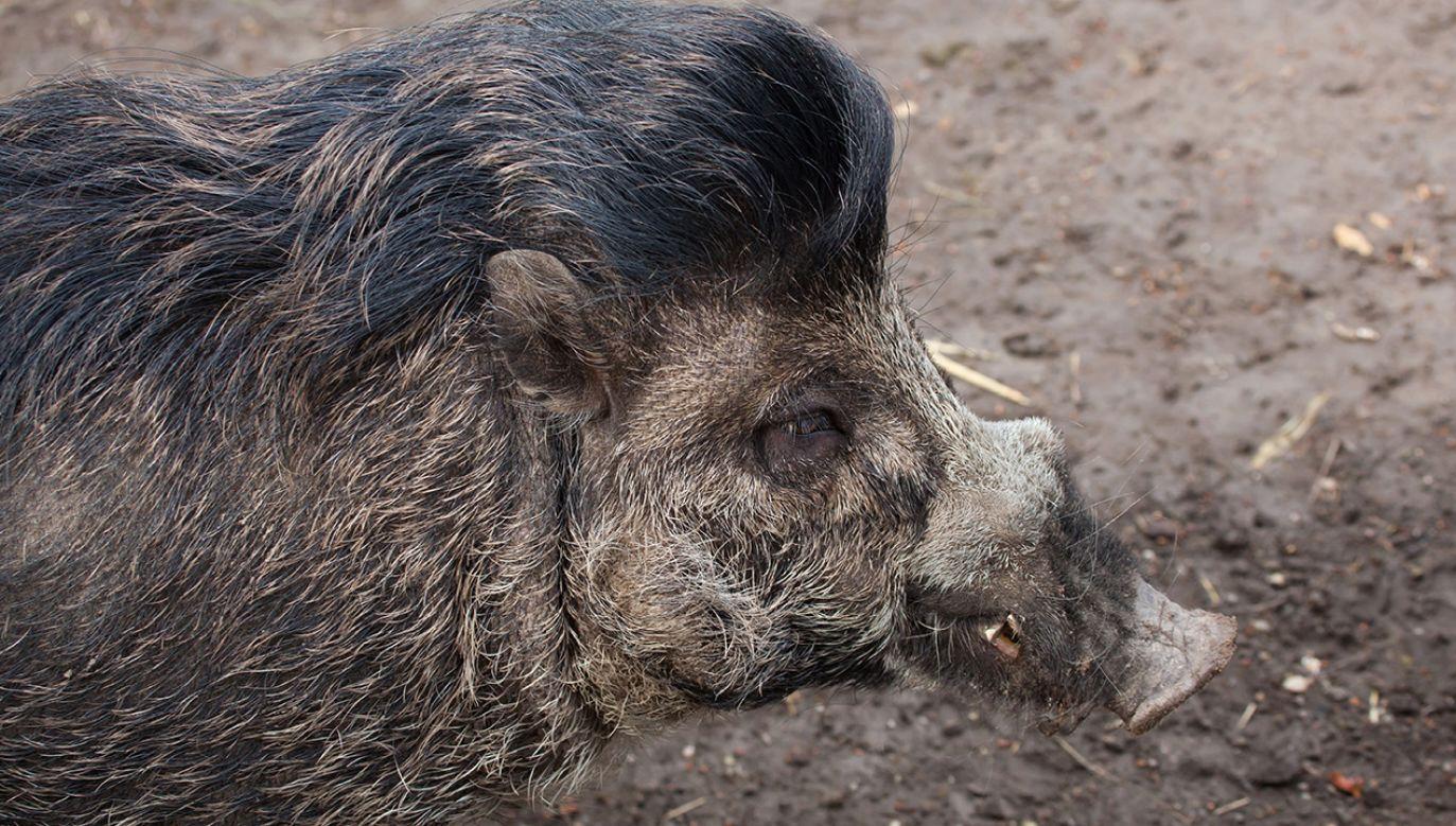 Świnie wisajskie zamieszkują obecnie jedynie na dwóch wyspach filipińskich (fot. Shutterstock/Vladimir Wrangel)