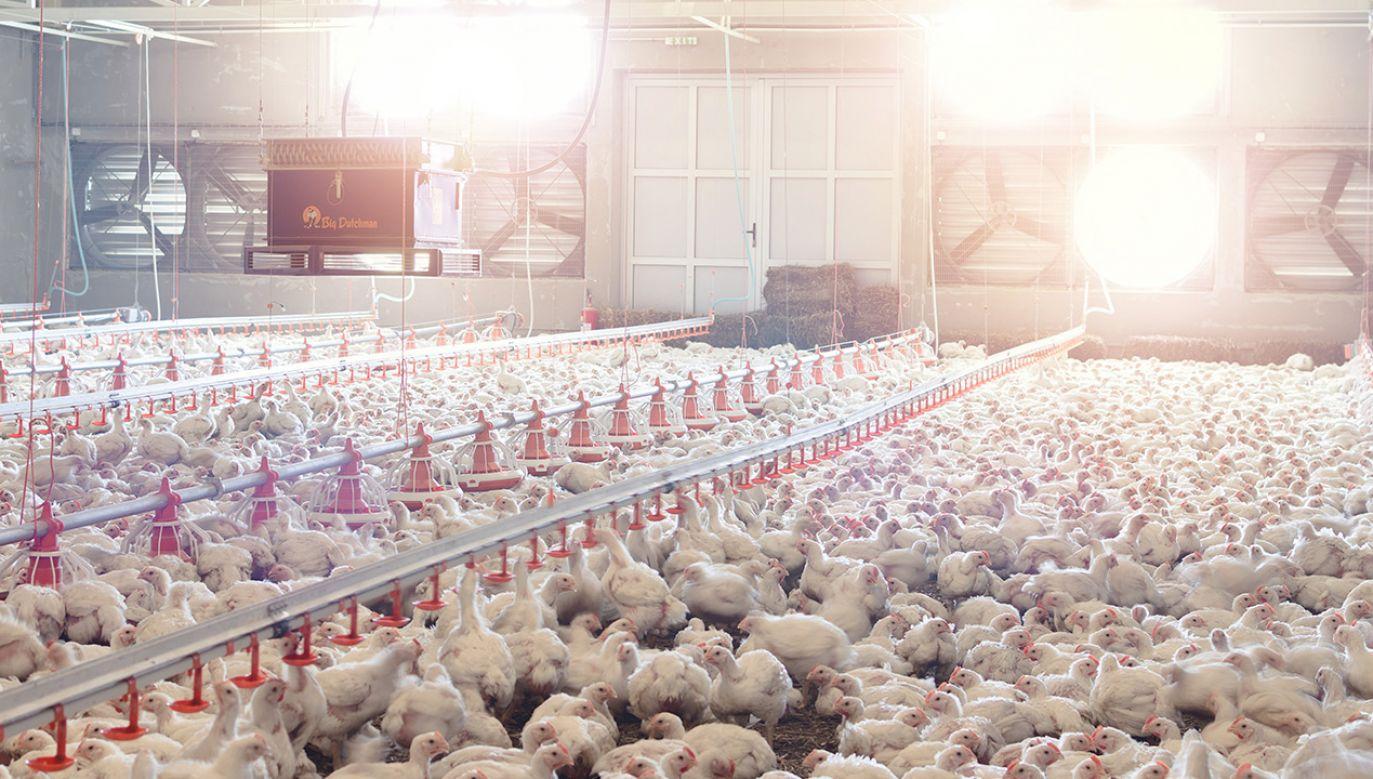 Ptasia grypa nadal atakuje (fot. Shutterstock)