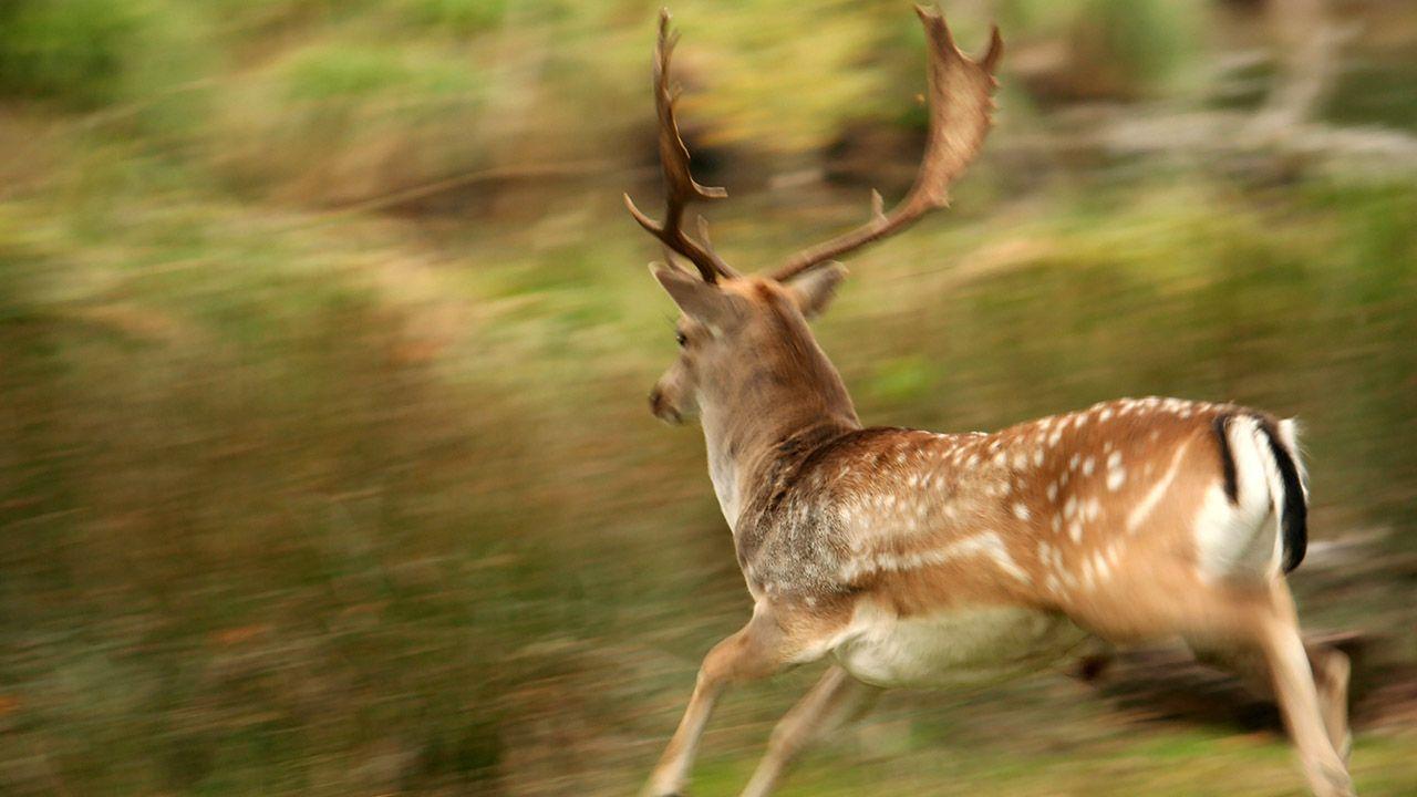 Jeleń nie dał szans motocykliście (fot. Shutterstock/margaret)