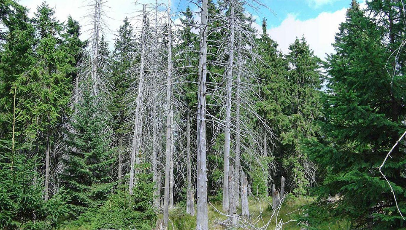 Korniki powodują nagłe usychanie drzew (fot. Wiki/Jiří Berkovec)
