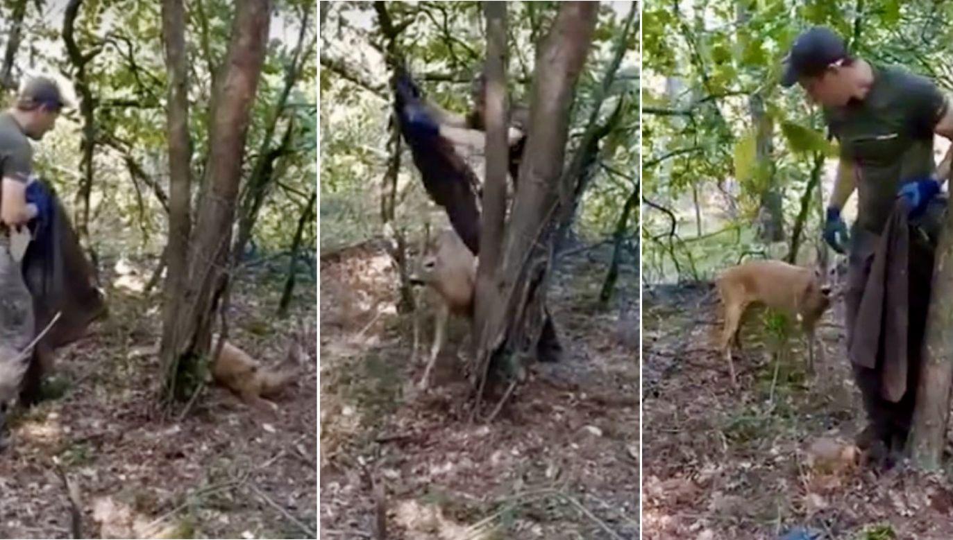 Akcja ratunkowa kozła sarny w okolicy Lubartowa (fot. YT/Regionalna Dyrekcja Lasów Państwowych w Lublinie)