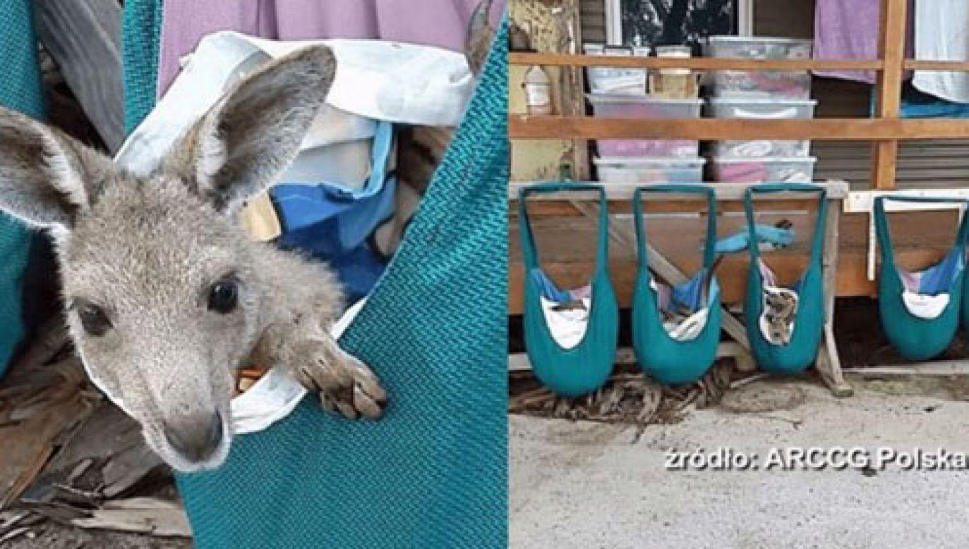 Kangury w torbach z Katowic (fot. ARCCG Polska)