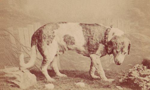Pocztówka ze zdjęciem wypchanego psa ratowniczego Barry'ego w muzeum w Bernie, przed zastąpieniem eksponatu gipsowym odlewem w 1923 r. Fot. Emil Nicola Karlen (1840 - 1898) - paulfrecker.com, Public Domain, https://commons.wikimedia.org/w/index.php?curid=48203620