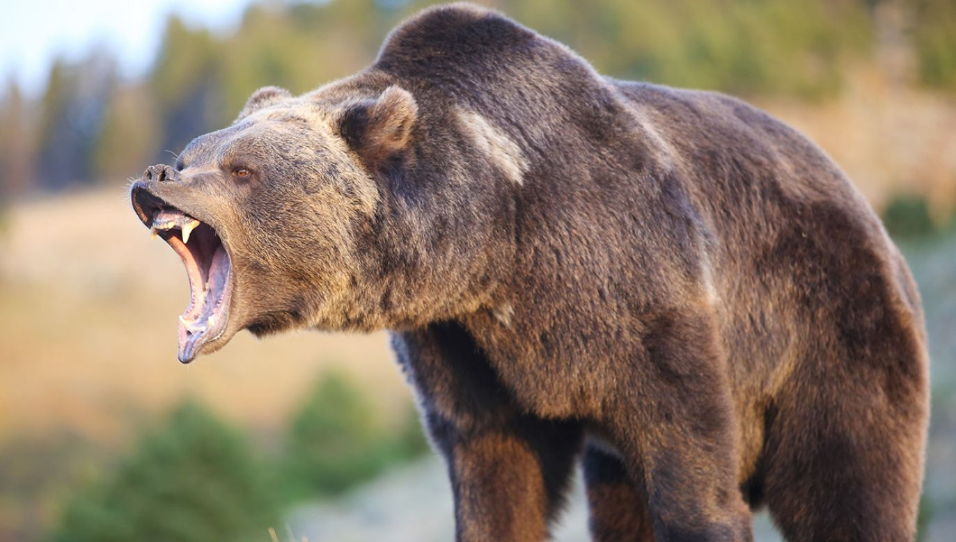 W towarzystwie niedźwiedzia mężczyzna przeżył miesiąc (fot. Shutterstock/Dennis W Donohue)