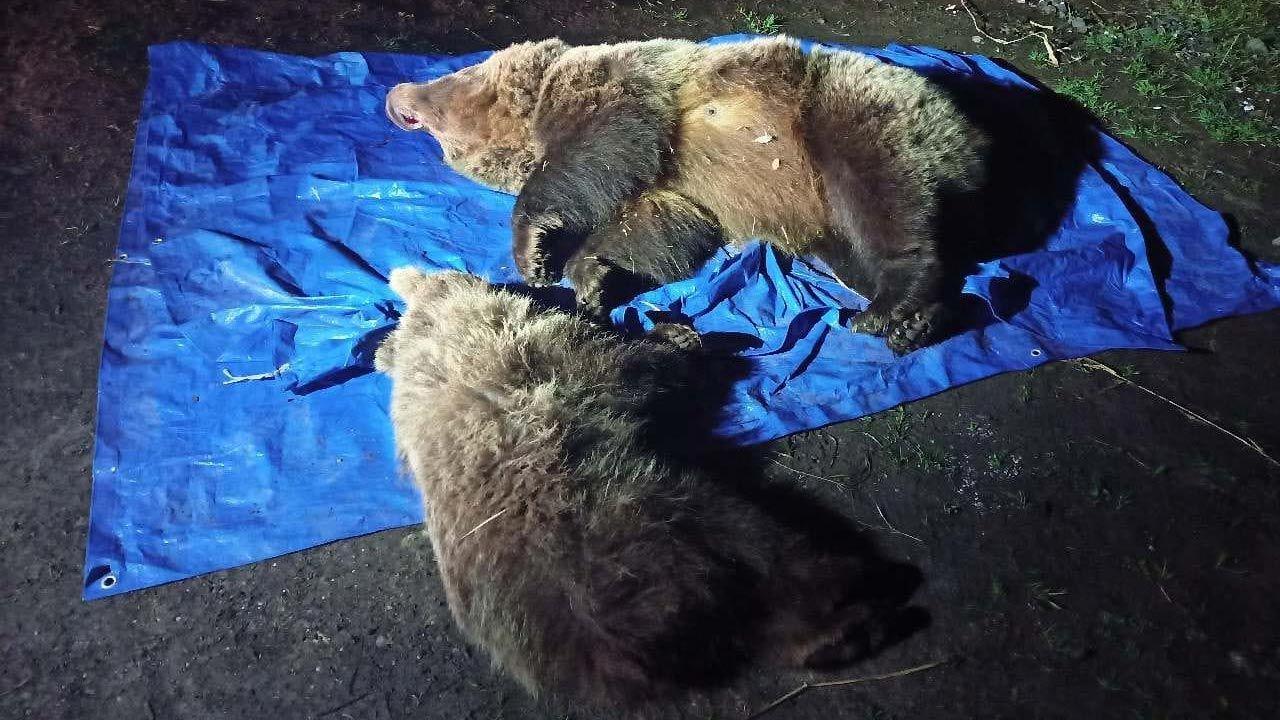 Zdjęcia zabitych niedźwiedzi opublikował słowacki Tatrzański Park Narodowy (fot. Facebook/Štátne lesy TANAPu)
