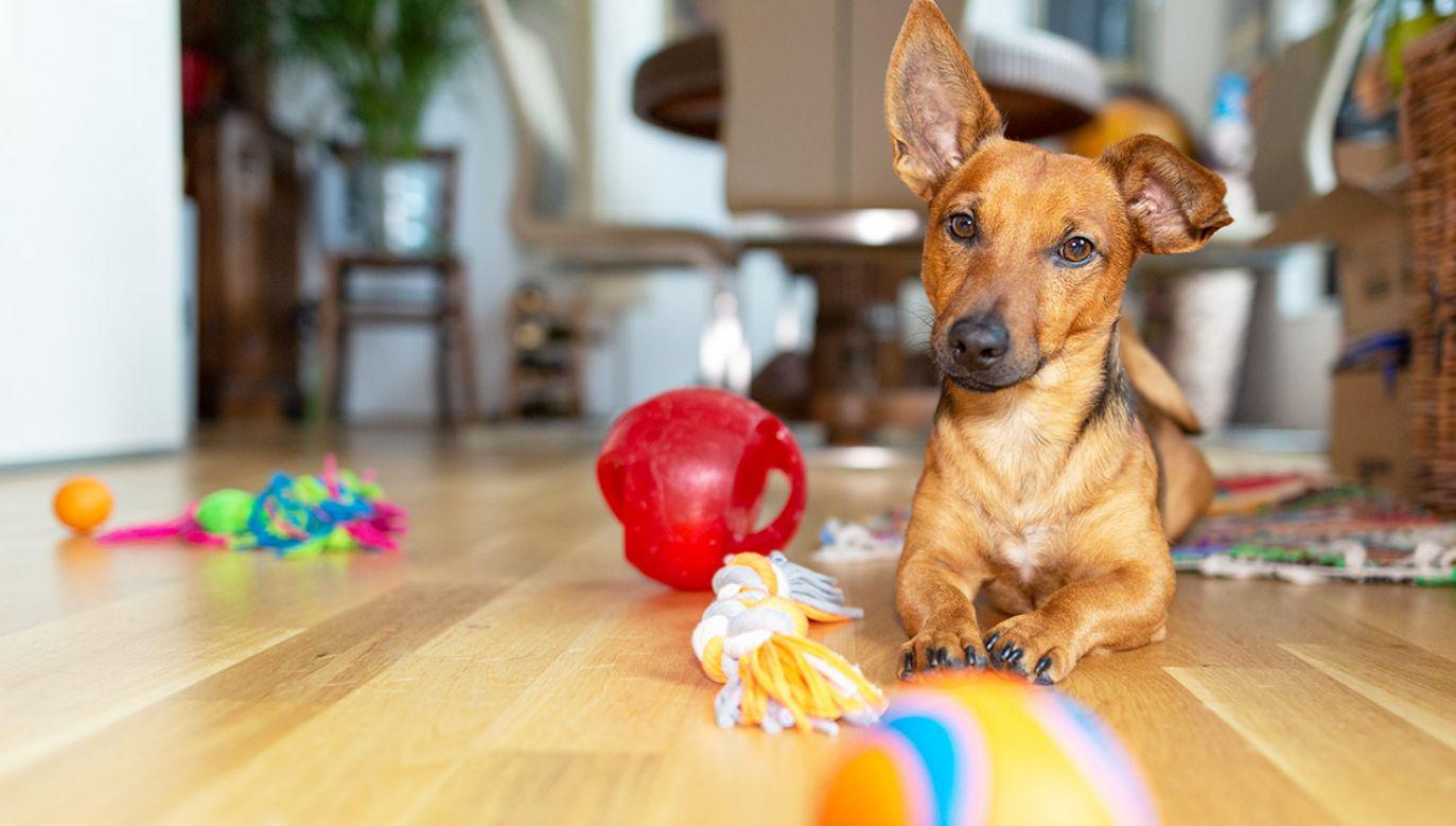 Naukowcy zwrócili uwagę na owczarki niemieckie, pekińczyki i niektóre mieszańce (fot. Shutterstock/TeamDAF)