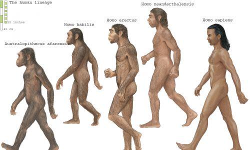 Ludzka linia: Australopithecus afarensis, Homo habilis, Homo erectus, Homo neanderthalensis i Homo sapien. Fot. Encyclopaedia Britannica / UIG via Getty Images