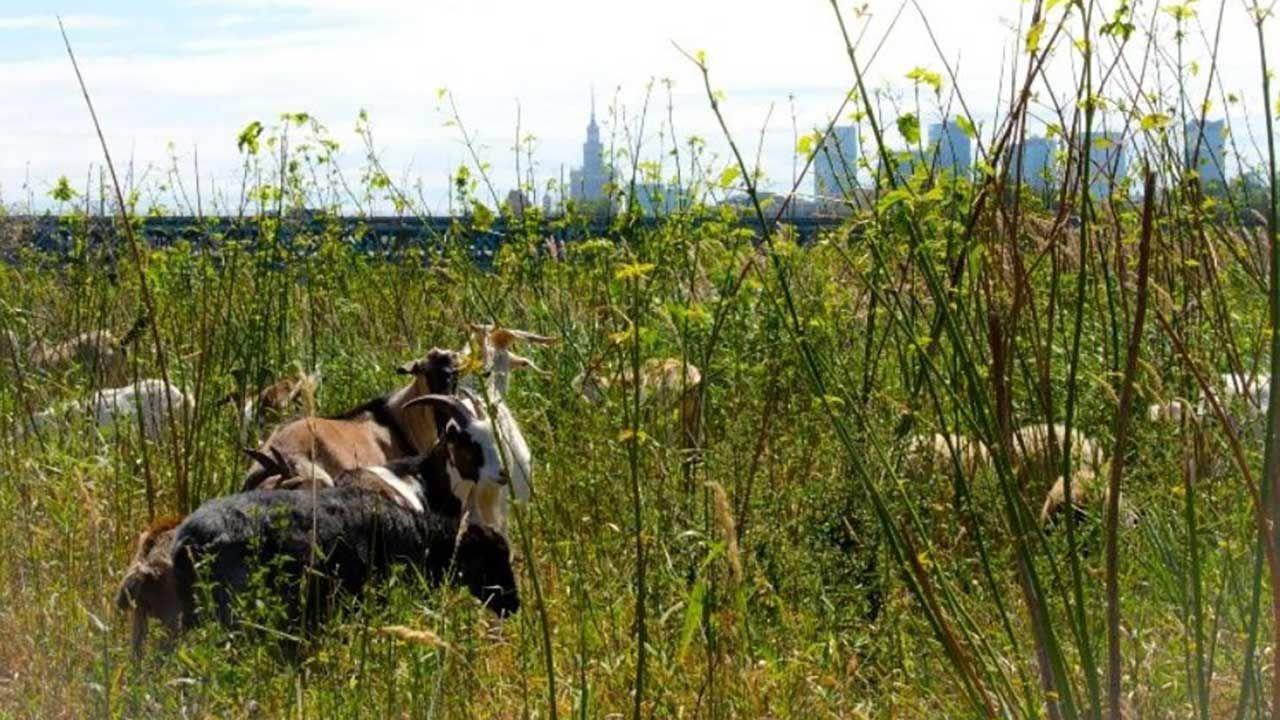 Część pozostałych przy życiu kóz znajduje się w ciężkim stanie (fot. UM Warszawa)