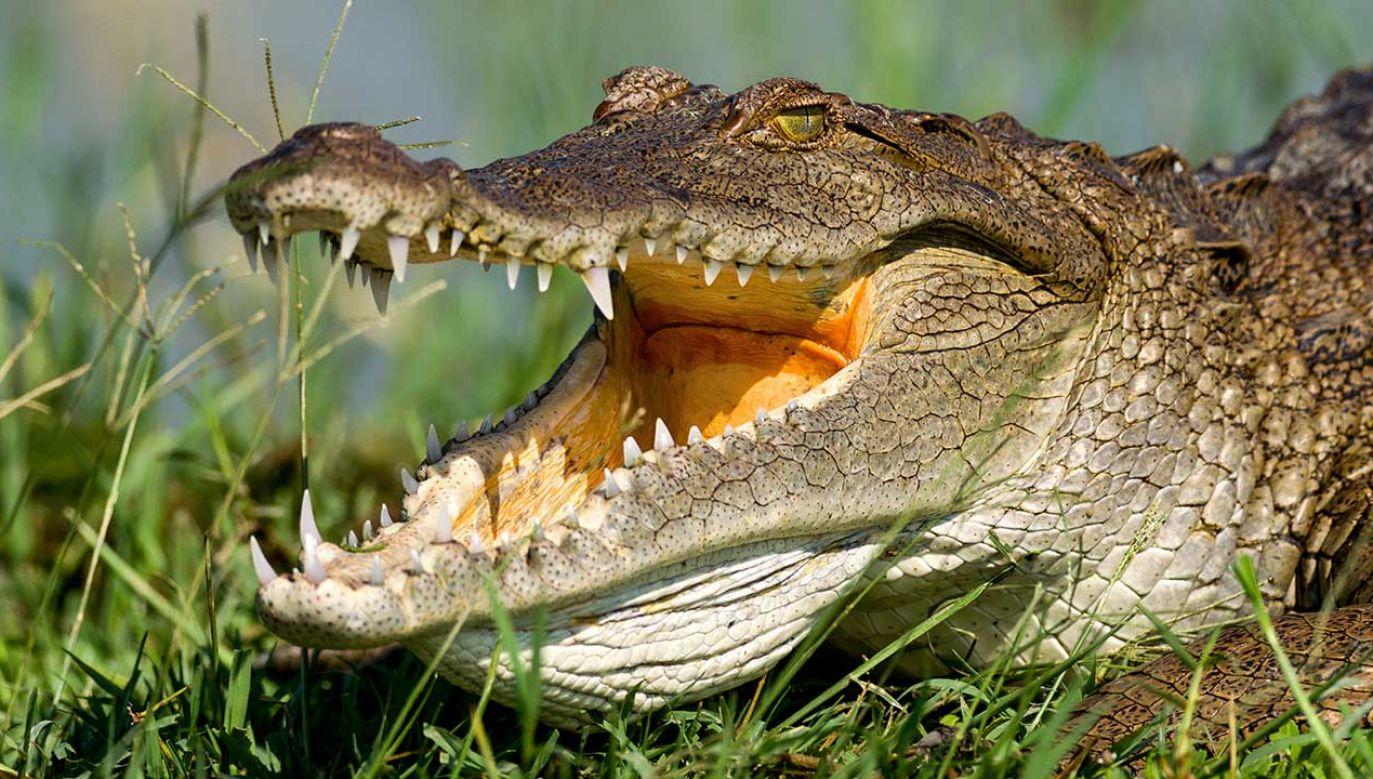 Krokodyl był samcem, który został prawdopodobnie odrzucony przez samice (fot. Shutterstock/RZ_Videos)