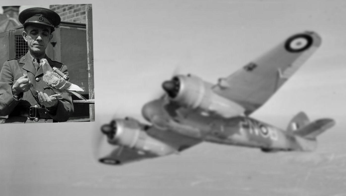 Gołębica Winkie została uhonorowana Medalem Dickin (fot. IWM)