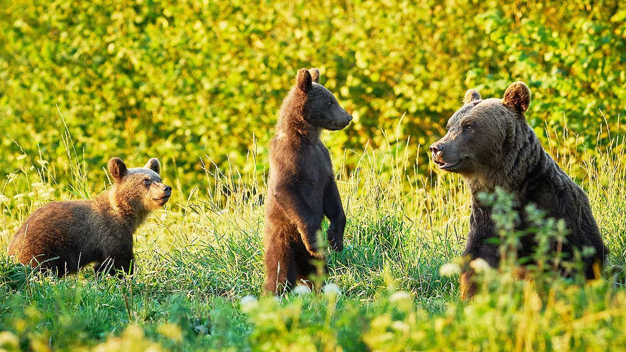 Na razie niedźwiedzie są zbyt małe, aby przenieść sięz mamąw inne miejsce (fot. Shutterstock)