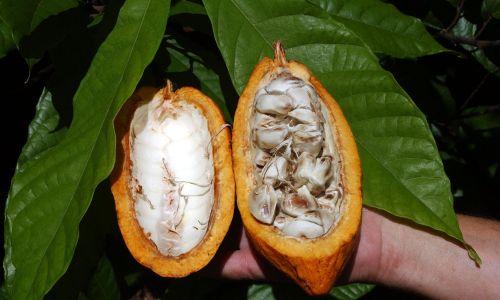Kakaowce, których ziarna używane są do produkcji czekolady, coraz słabiej bronią się przed chorobami, bowiem zmiany klimatu tworzą coraz trudniejsze dla nich warunki życia. Przepowiadano nawet, że czekolady za 40 lat nie będzie. Dlatego MARS Corp. zatrudnił firmę biotechnologiczną Benson Hill Biosystems z Creve Coeur i uczonych z Uniwersytetu Berkeley, aby zmienili geny kakaowca i uczynili drzewa bardziej odpornymi. Fot. Tim Chapman / Miami Herald / TNS via Getty Images