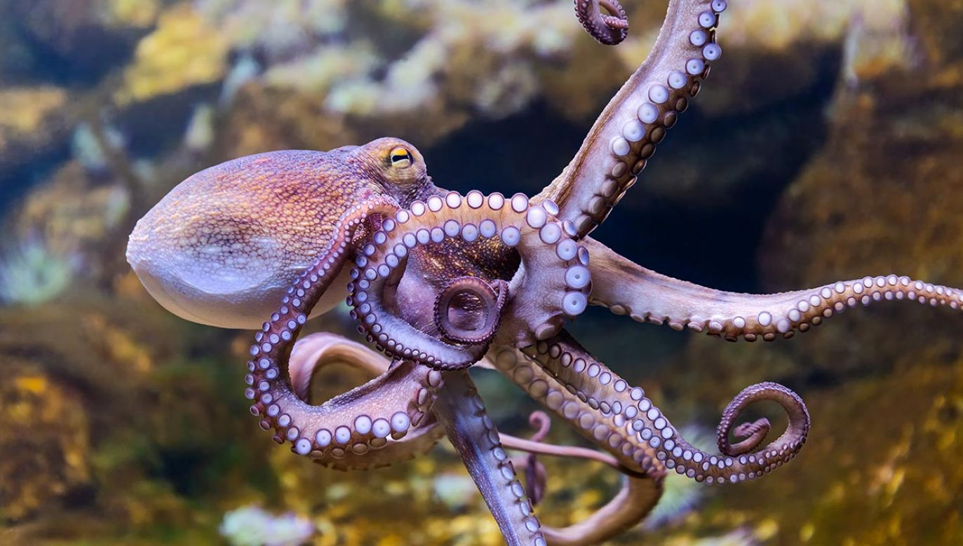 Samice ośmiornic częściej niż samce rzucają przedmiotami (fot.  Shutterstock/Henner Damke)