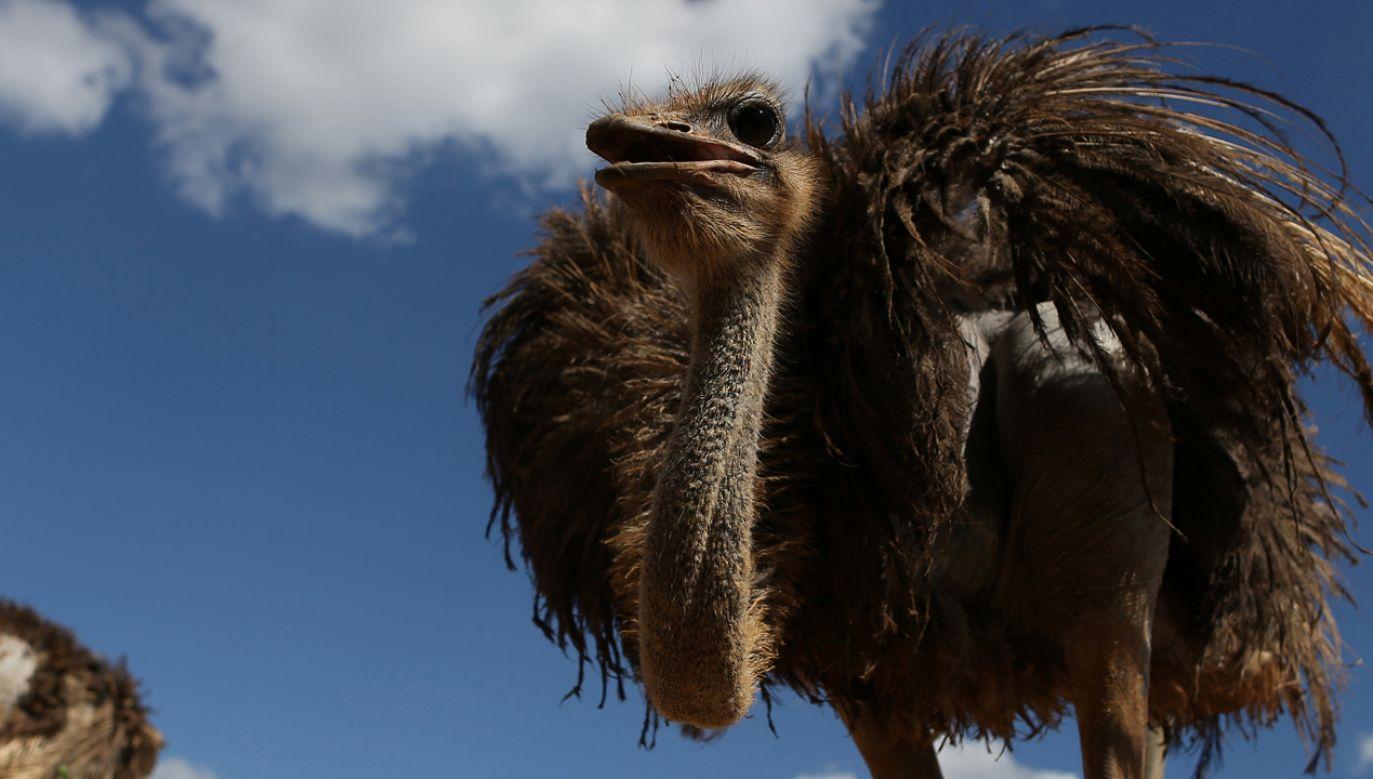 Ptaki zostały przywiezione do Wenecji, by promować występy cyrku (fot. REUTERS/Fernando Medina)