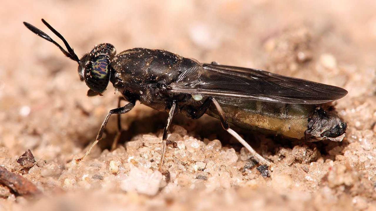 Mucha czarna, czyli Hermetia illucens może zmienić rolnictwo (fot. Wiki GFDL 1.2/Muhammad Mahdi Karim)
