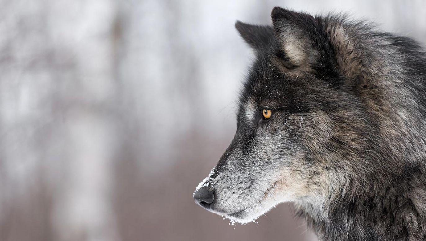 Na widok wilków młodzi ludzie zaczęli wpadać w panikę (fot. Shutterstock/Geoffrey Kuchera)