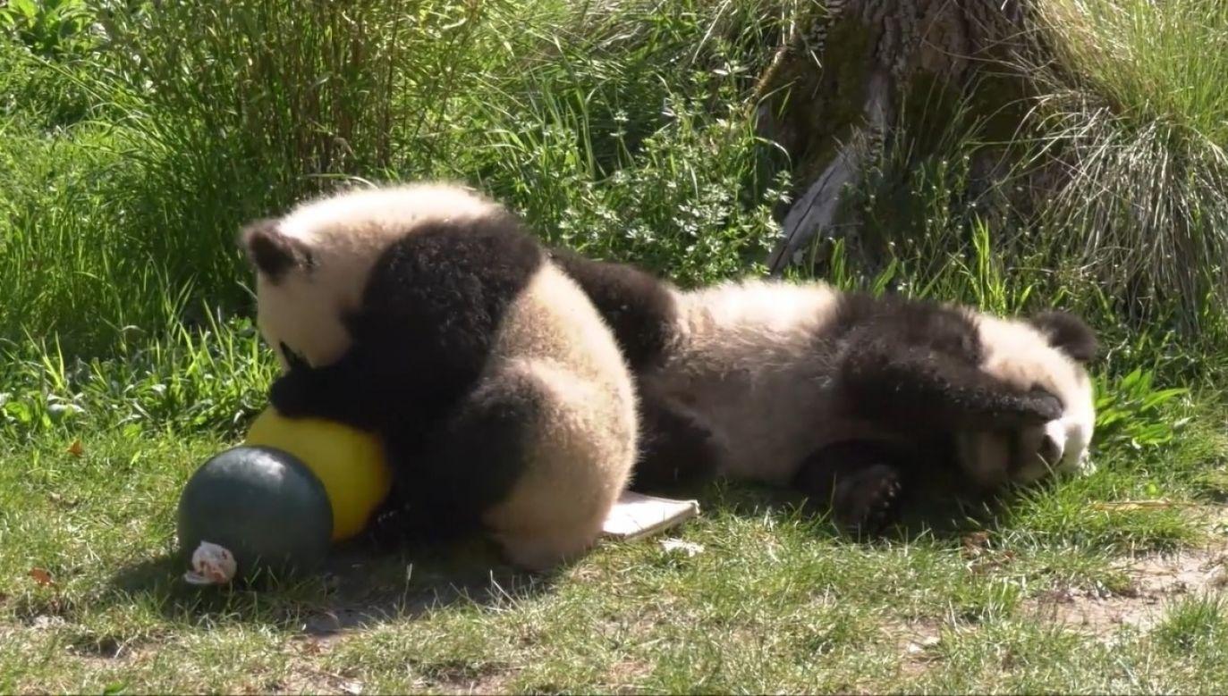 Niedźwiedzie bambusowe Pit i Paule urodziły się 31 sierpnia 2019 roku (fot.  Zoo und Tierpark Berlin)