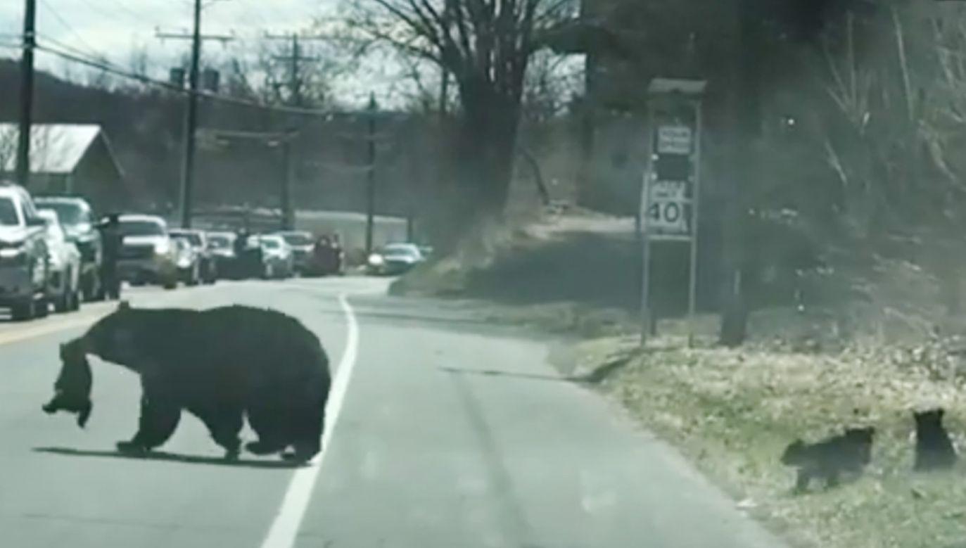 Mama niedźwiedzica przeprowadza małe misie przez drogę (fot. YouTube/ Just Facts)