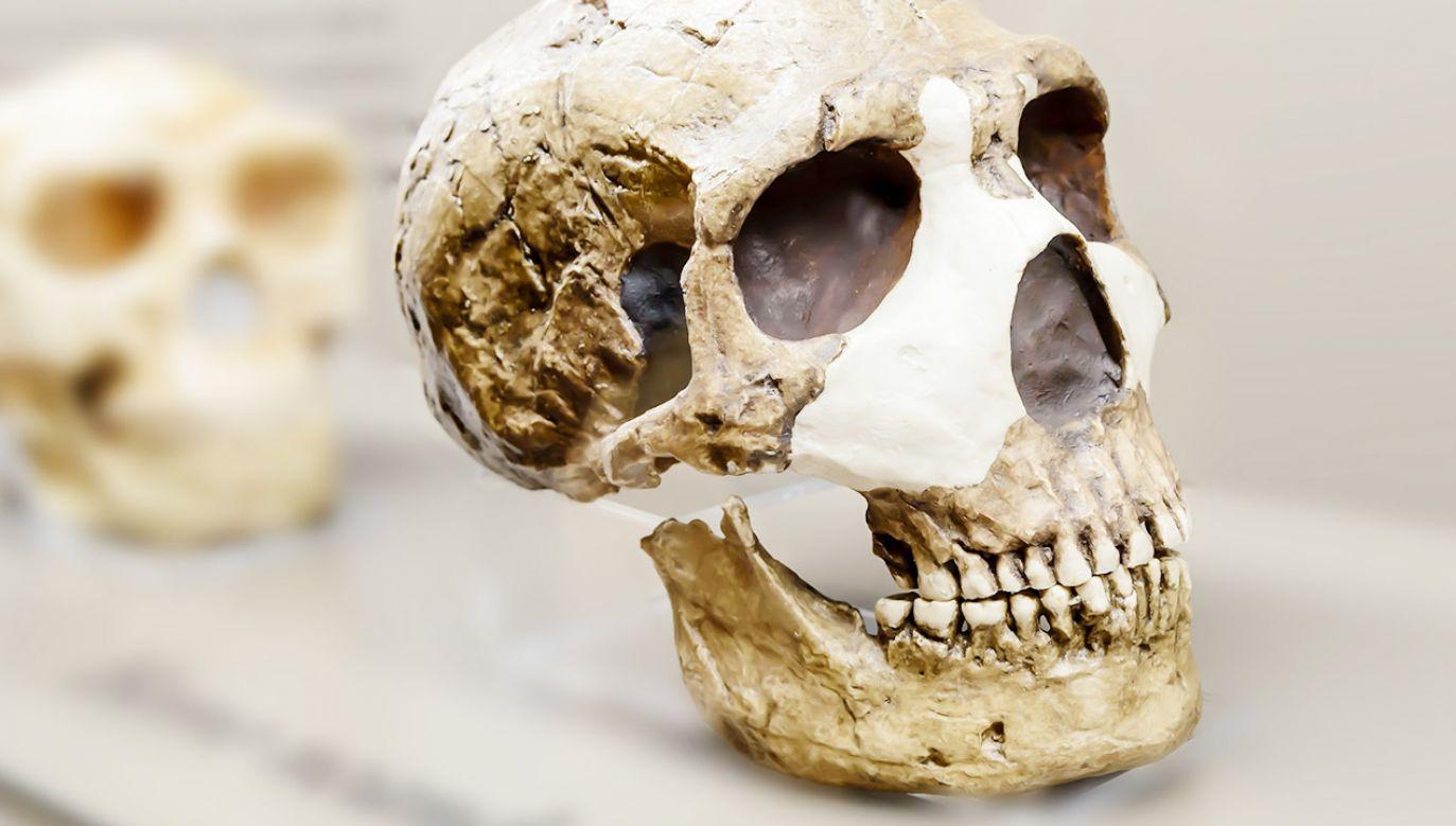 Tak wygląda czaszka neandertalczyka (fot. Shutterstock)