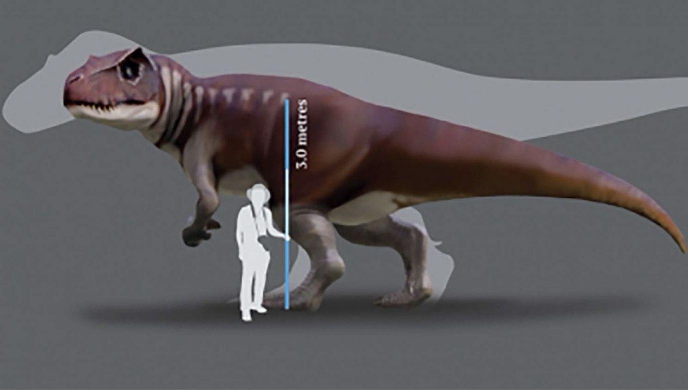 Dinozaury mogły mierzyć do trzech metrów wysokości w kłębie i 10 m długości (fot. University of Queensland)