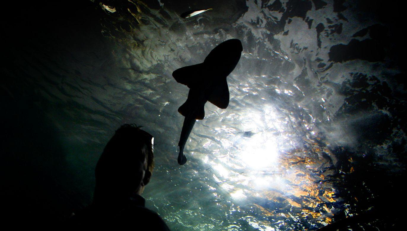 Odkryte na Milne Bay rekiny nie biegają po lądzie, a jedynie powoli się czołgają (fot. REUTERS/Tim Wimborne)