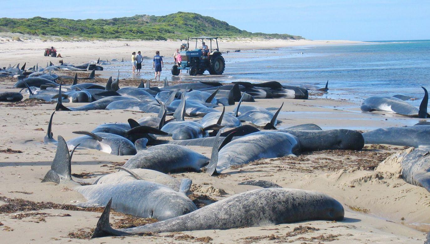 Zwierzęta zmarły mimo podjętej akcji ratunkowej (fot. EPA/MAVIS BURGESS AUSTRALIA AND NEW ZEALAND OUT)