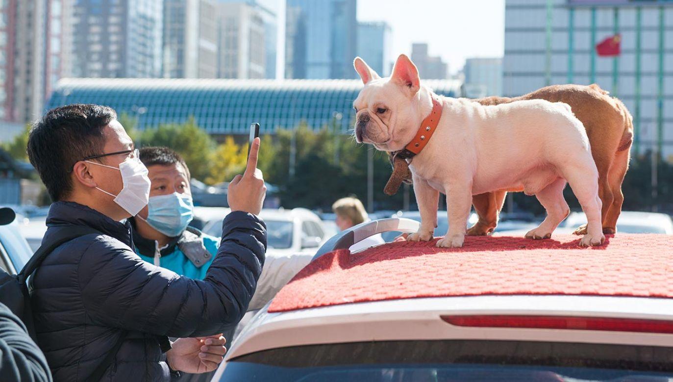 Zgodnie z okólnikiem wydanym przez władze powiatu psy powinny być przez cały czas trzymane w zamknięciu (fot. Yue Zhiqiang/VCG via Getty Images)