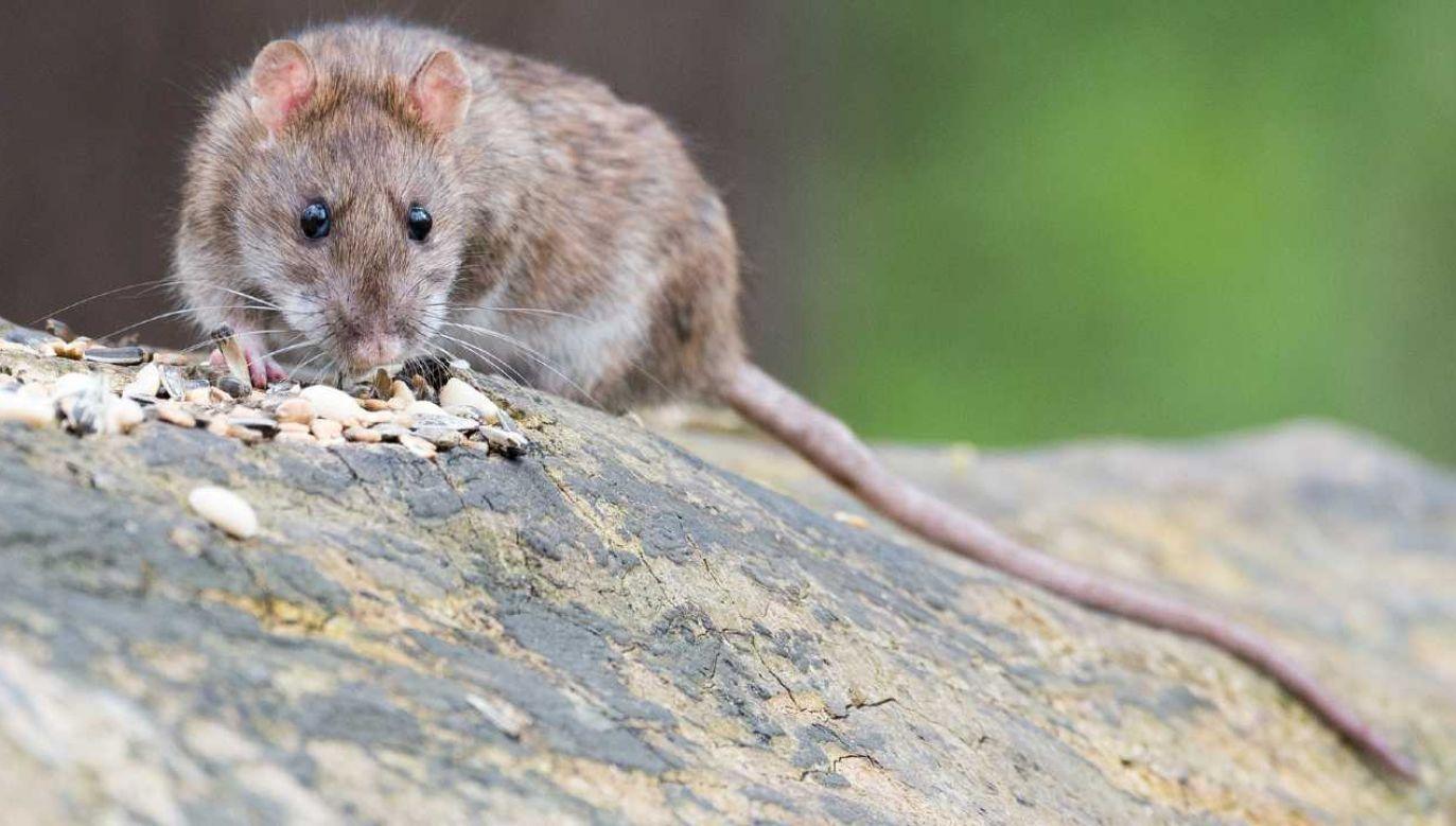 Zamknięcie restauracji i sklepów sprawiło, że wiele szczurów straciło źródło pożywienia (fot. Pixabay)
