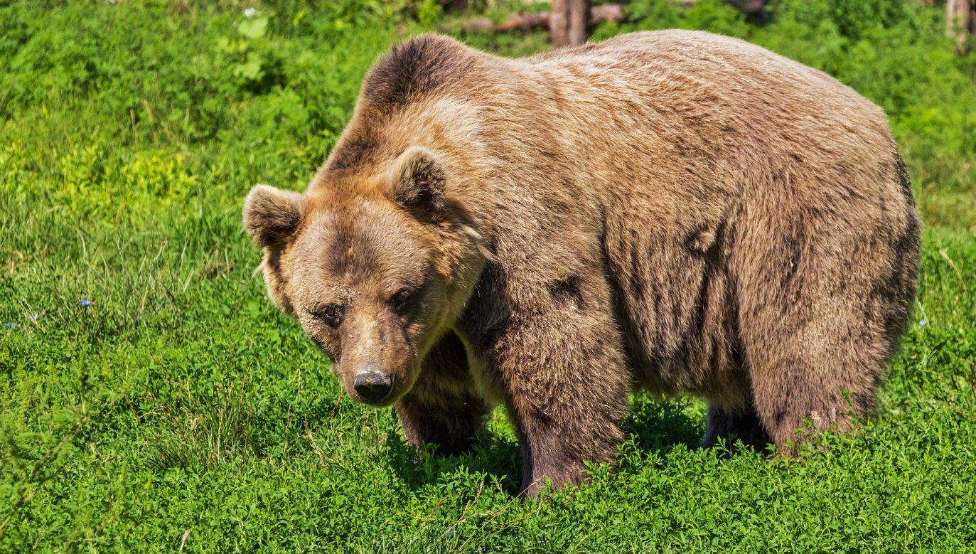 Niedźwiedzie obecnie intensywnie żerują (fot. pixabay.com, zdjęcie ilustracyjne)