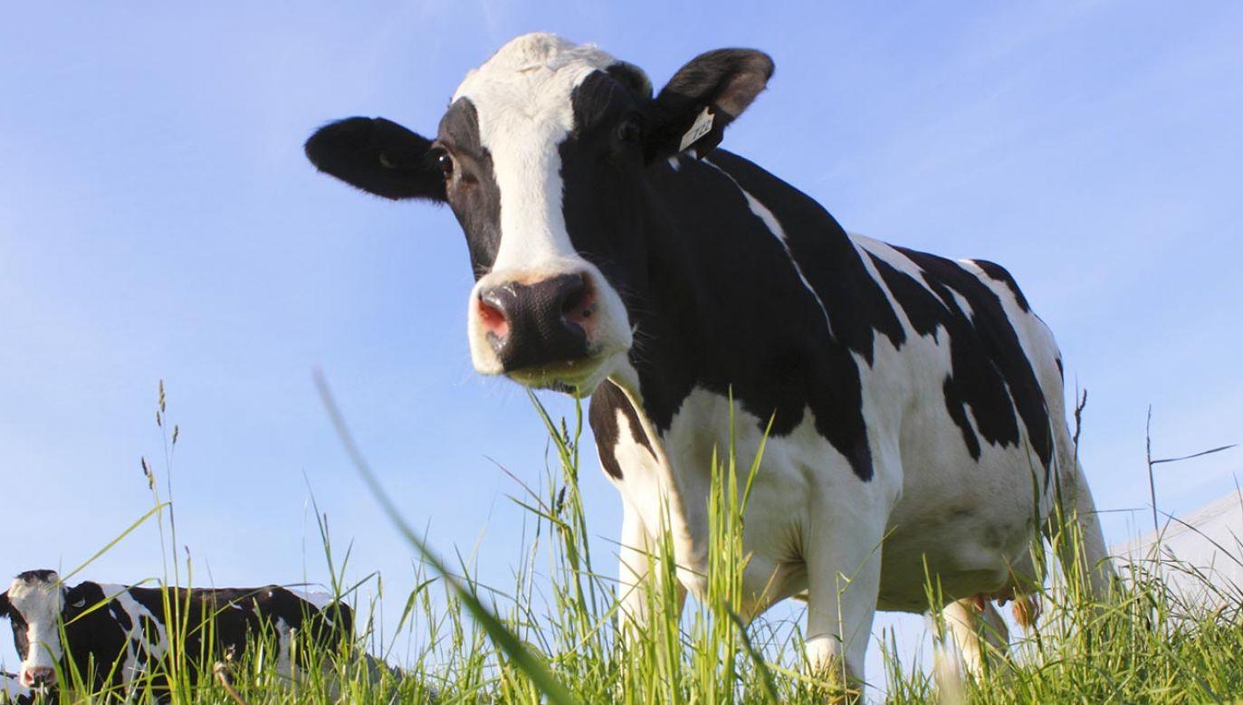 Kilka dotychczasowych prób złapania krowy zakończyło się niepowodzeniem (fot. Shutterstock/Eric Buermeyer)
