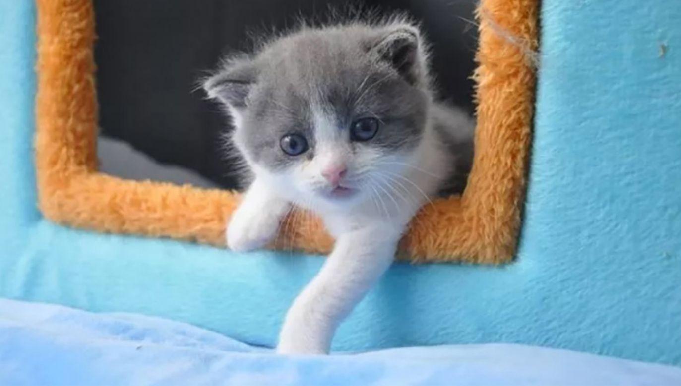 Firma biotechnologiczna sklonowała pierwszego kota w Chinach (fot. Sinogene Biotechnology)