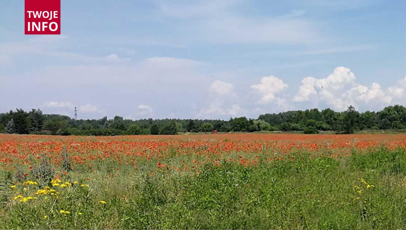 Warto dodać, że wśród korzyści związanych z łąkami kwietnymi jest fakt, że wzbogacają one miejski ekosystem, stanowiąc pełne życia oazy bioróżnorodności (fot. Twoje Info)