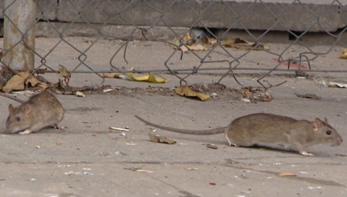 Nieaktywne w dzień, na żer wychodzą nocą i opanowują miasto (fot. TVP info)