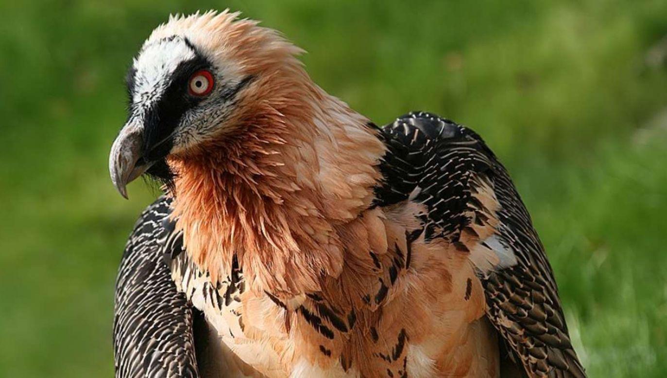 Orłosęp brodaty jest gatunkiem zagrożonym wyginięciem (fot. Wiimedia Commons/Richard Bartz , Monachium aka Makro Freak)