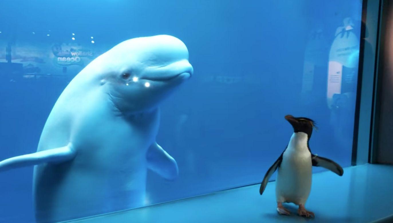 Pingwiny podczas spaceru odwiedziły przez szybę białucha arktycznego, znanego też jako wal biały (fot. Facebook/Shedd Aquarium)