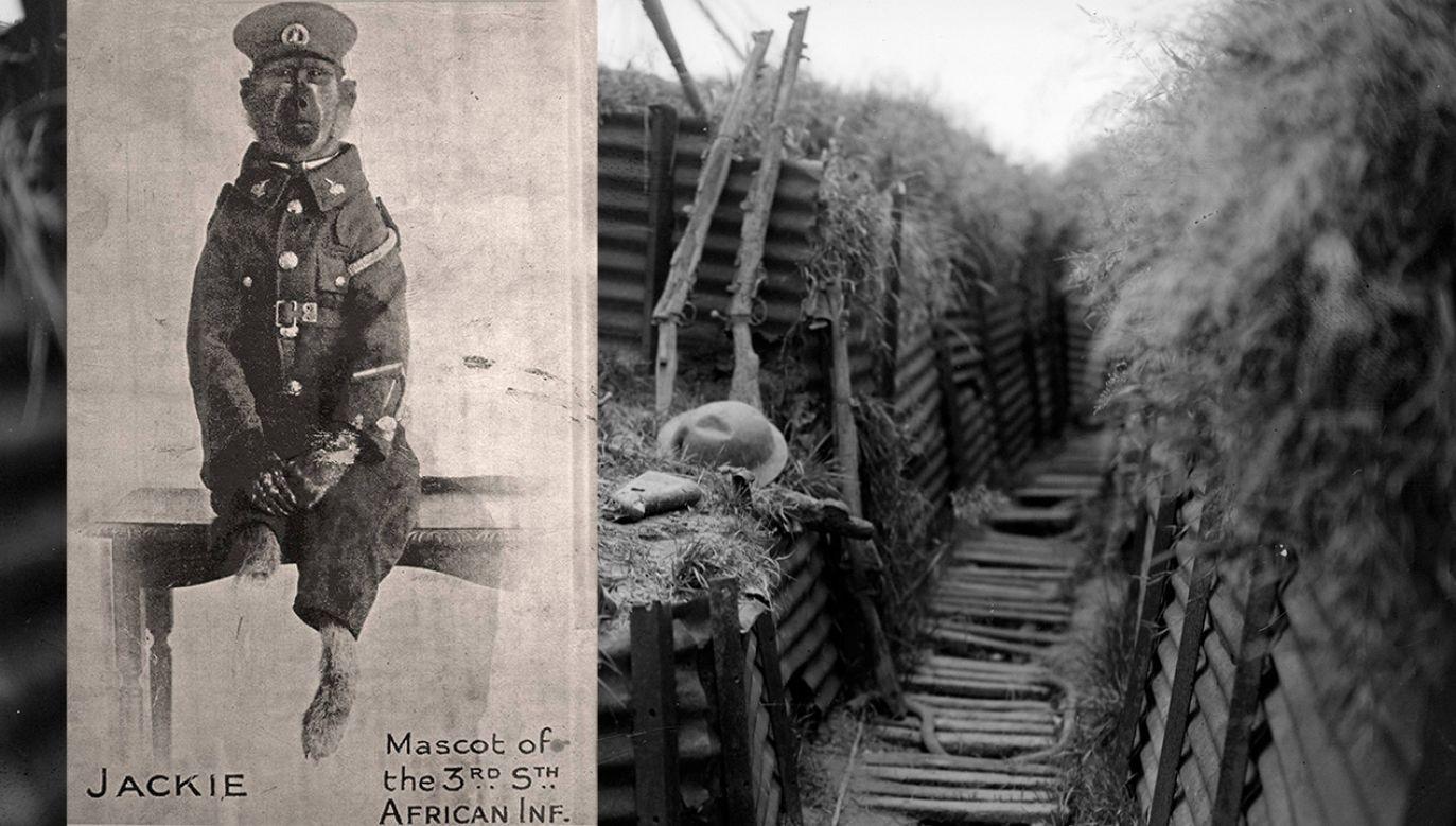 Pawian Jackie sędził trzy długie lata na frontach I wojny światowej (fot. Fox Photos/Getty Images/en.wikipedia.org)