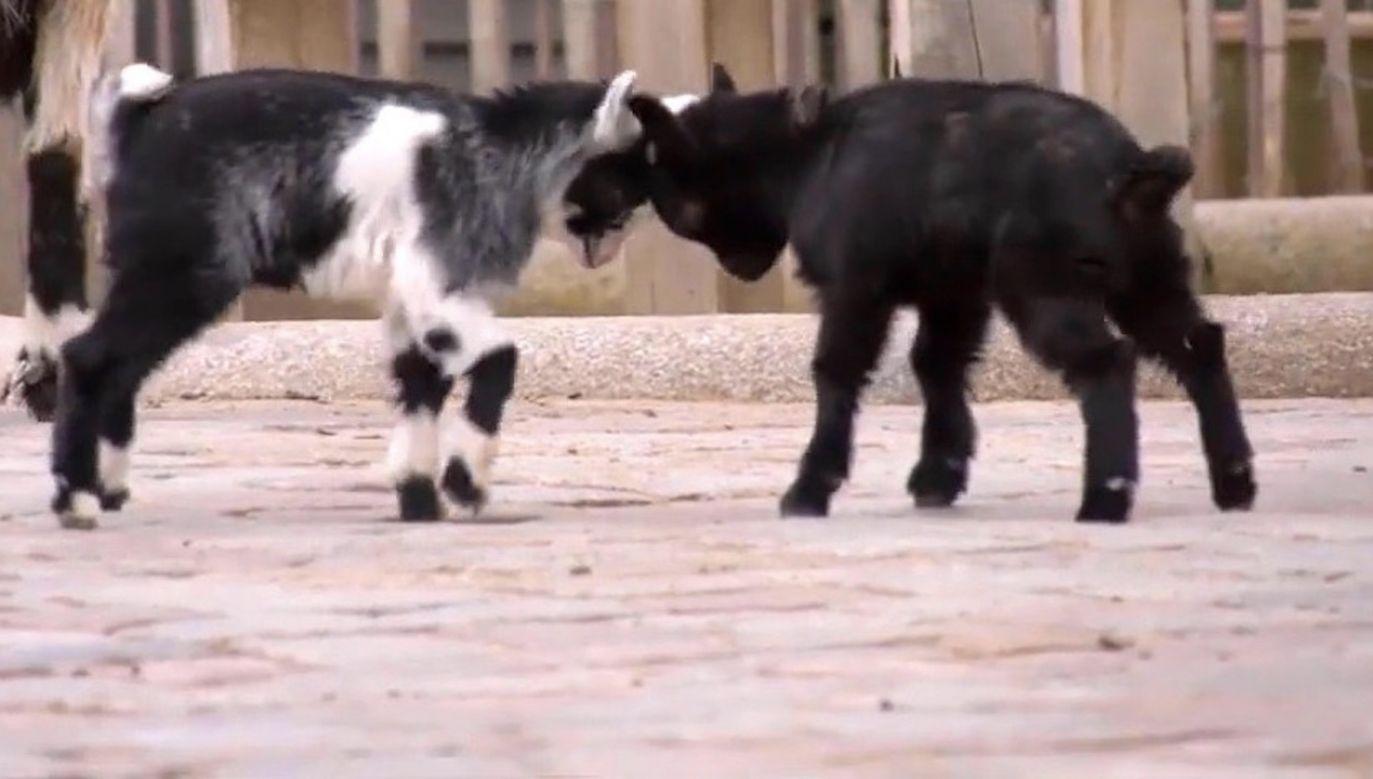 Małe kozy cieszą się wiosną, podskakując dookoła, pomimo koronawirusa (fot. Berlin Zoo)