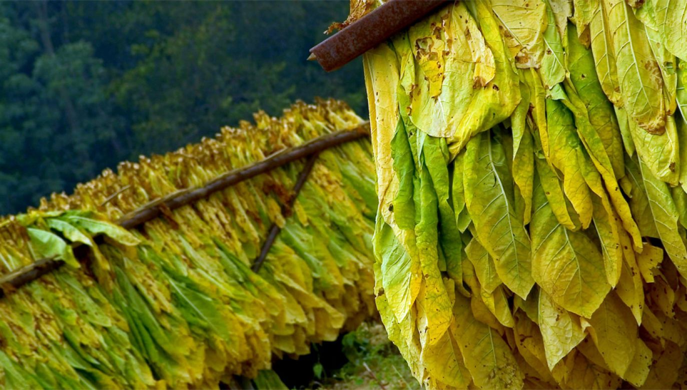 Polski tytoń jest ceniony za jakość (fot. Wiki 3.0/Ellie Van Houtte)