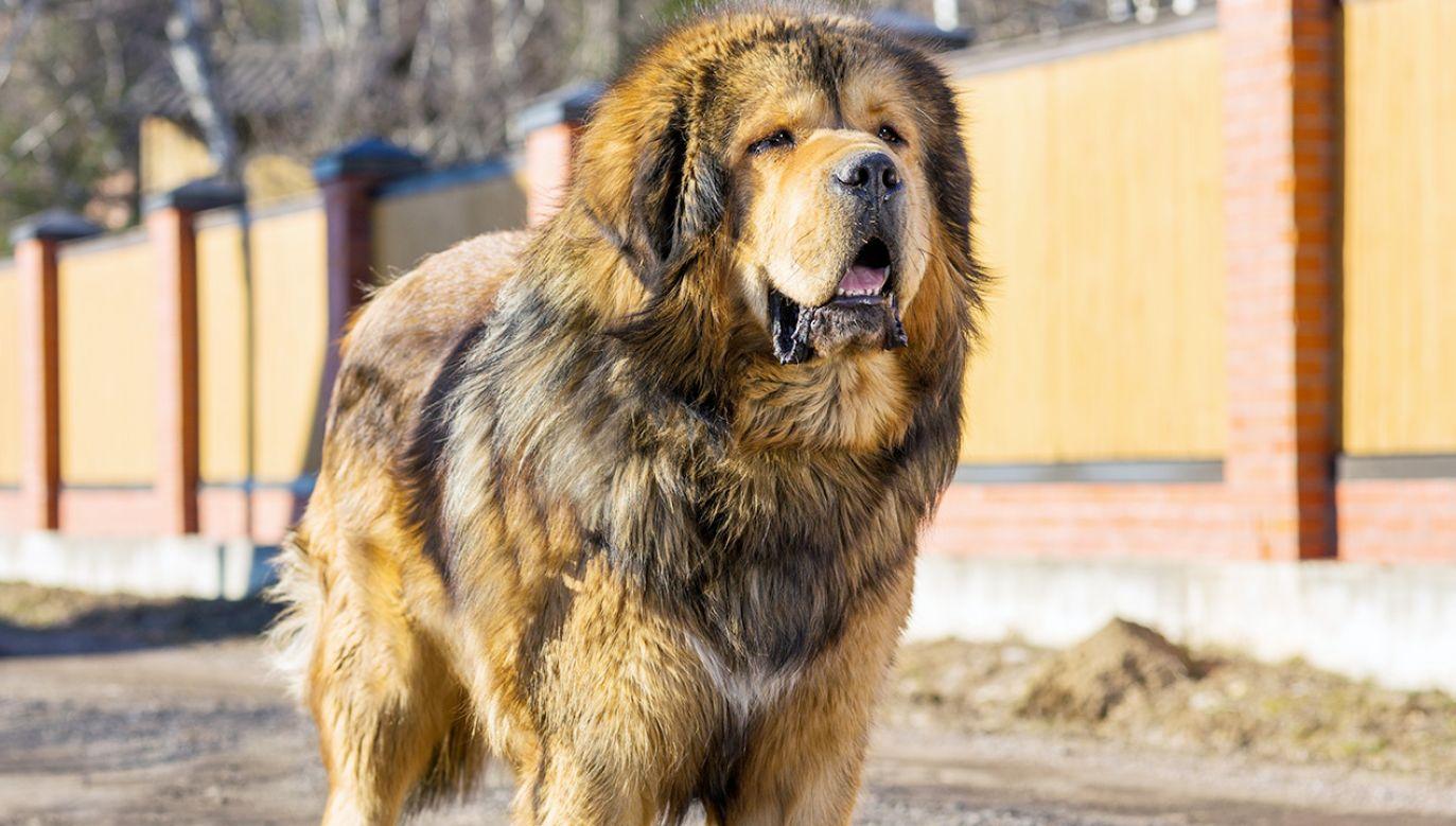 Mężczyznę zaatakowały mastify tybetańskie (fot. Shutterstock)