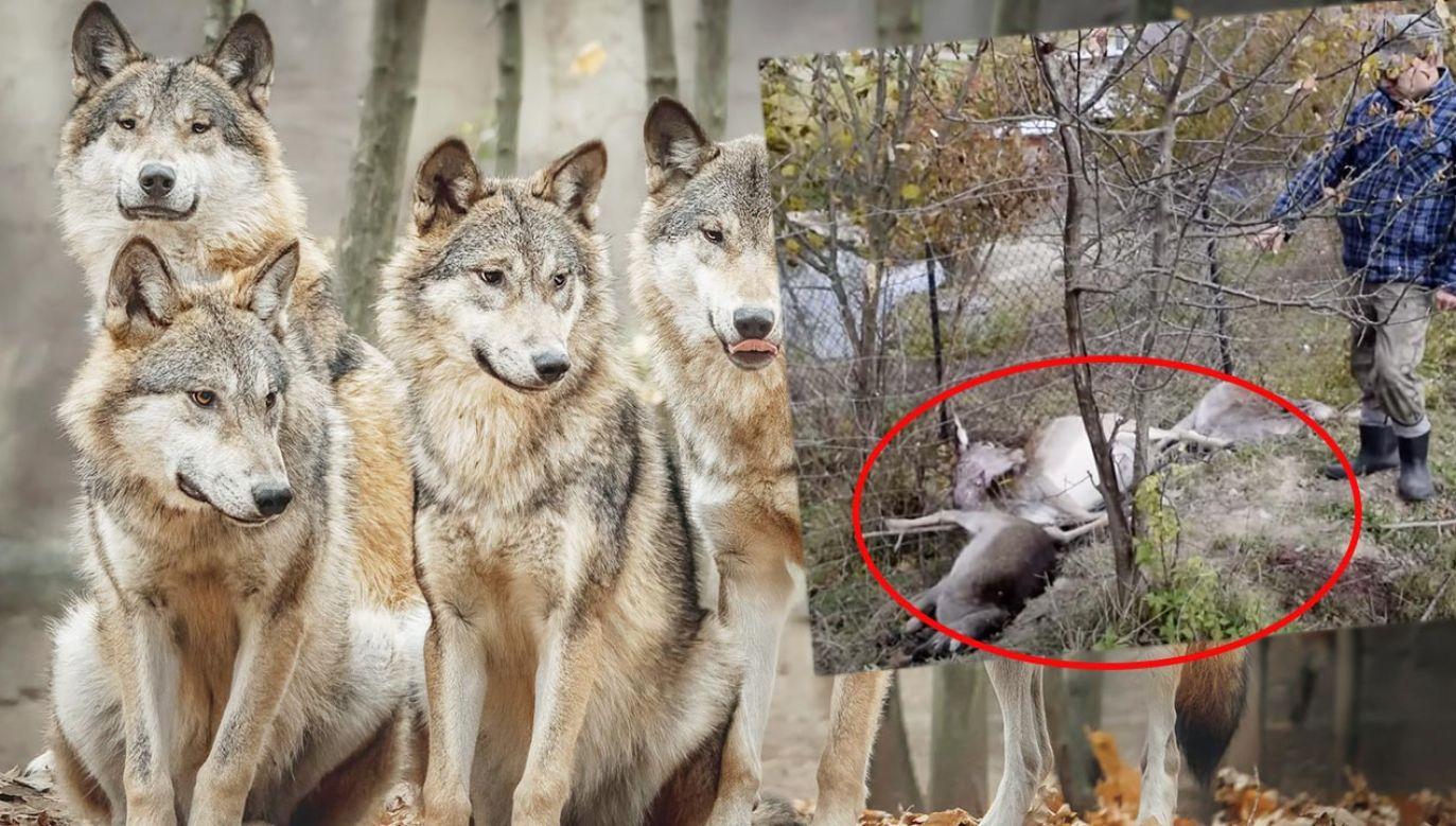 Wilki zagryzły w sumie 8 sztuk  (fot. Shutterstock; Youtube)