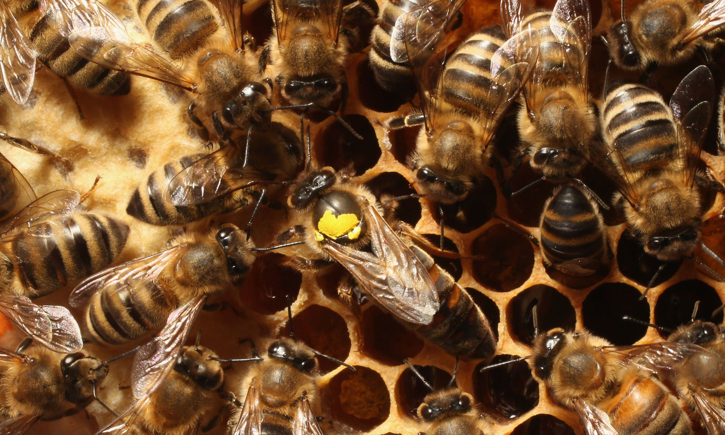 W kontekście gender można rozpatrywać pszczoły:  królowa kontra robotnice, czyli niby ta sama płeć genetyczna, a jednak zupełnie inne stymulacje hormonalne i społeczne powodują, że nie tylko rola w procesie reprodukcji, ale nawet pokrój ciała są tu dość odmienne. Na zdjęciu robotnice otaczają królową zaznaczoną żółtym punktem. Fot. Sean Gallup/Getty Images