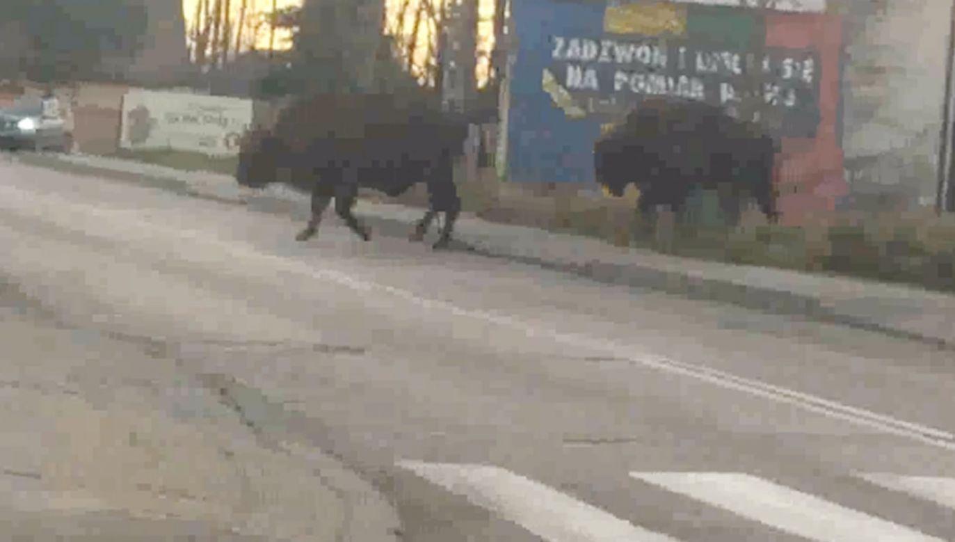 Żubry przeszły przez ulicę nie całkiem w zgodzie z przepisami.(fot. Facebook/Gmina Narewka)