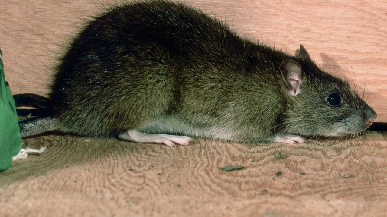 Poszukiwania gryzonia zakończyły się sukcesem (fot. Harold M. Lambert/Hulton Archive/Getty Images)