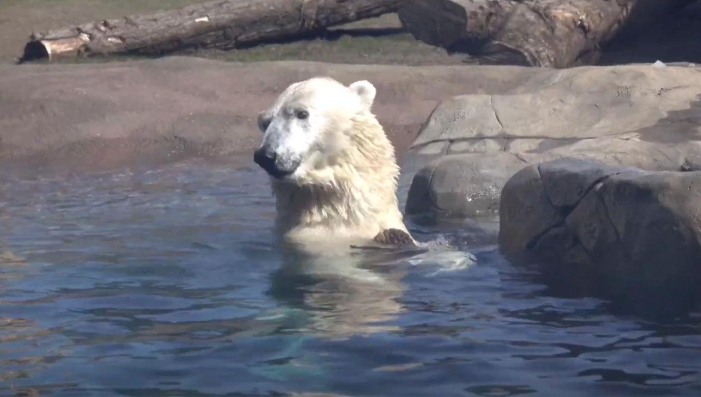 Niedźwiedź polarny pluskał się w zoologicznym stawie (fot. EBU/Oregon Zoo)